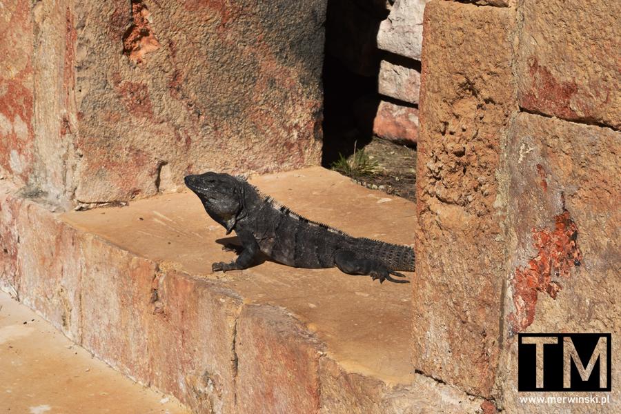 Iguana pośród majańskich ruin w Meksyku
