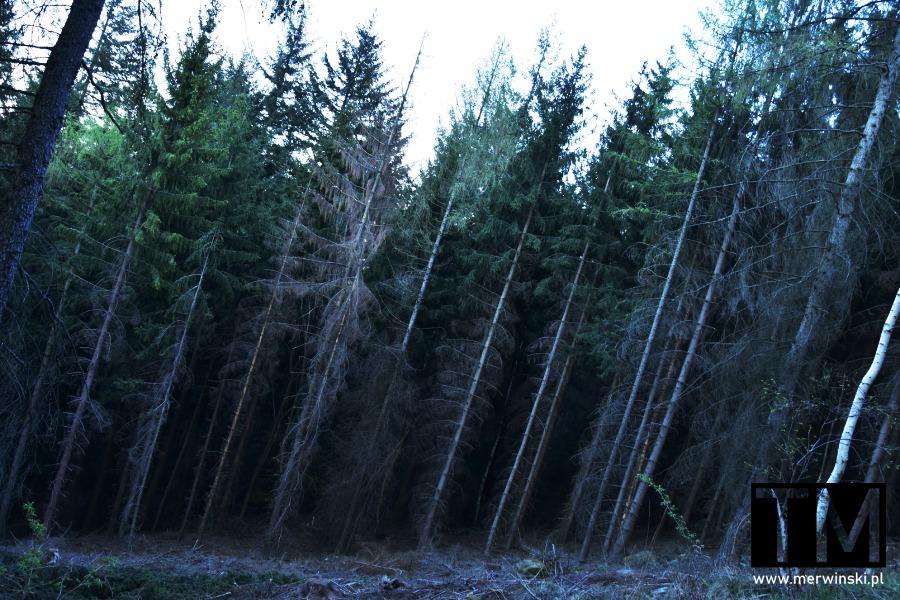 Krzywe drzewa na Raduni