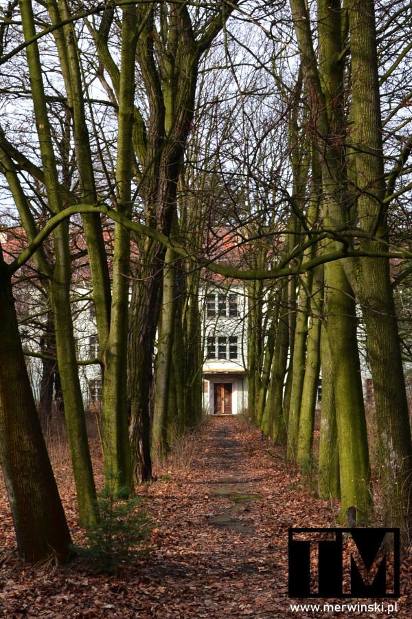 Szpaler drzew na terenie opuszczonego szpitala w Legnicy