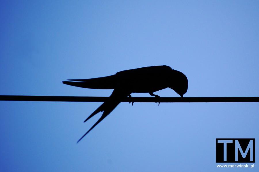 Ptak siedzący na linie w Macedonii