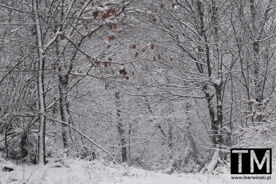 Ośnieżone drzewa na zboczach Wzgórz Kiełczowskich