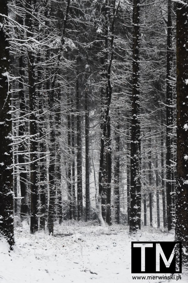 Ośnieżone drzewa na Wzgórzach Kiełczyńskich