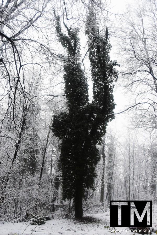 Drzewo pełne liści zimą na Wzgórzach Kiełczowskich