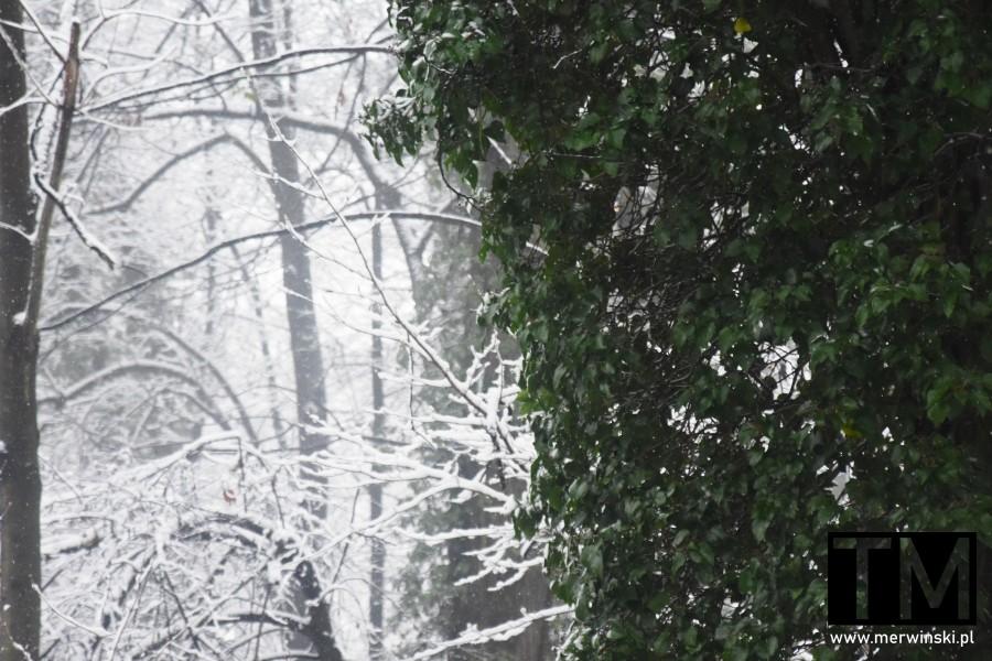 Zielone drzewo zimą