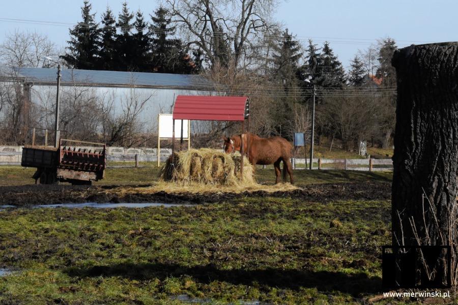 Koń jedzący słomę