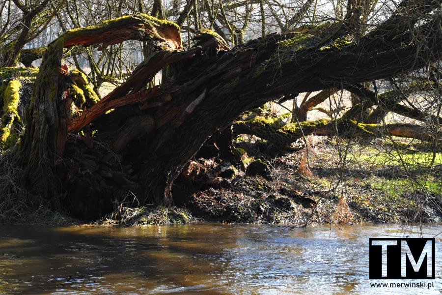 Drzewo nad rzeką Bystrzycą