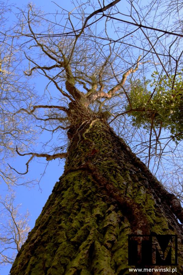Drzewo oplecione pnączem