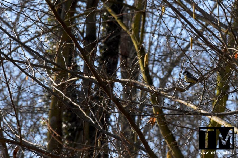 Sikorka w lesie niedaleko Gałowa