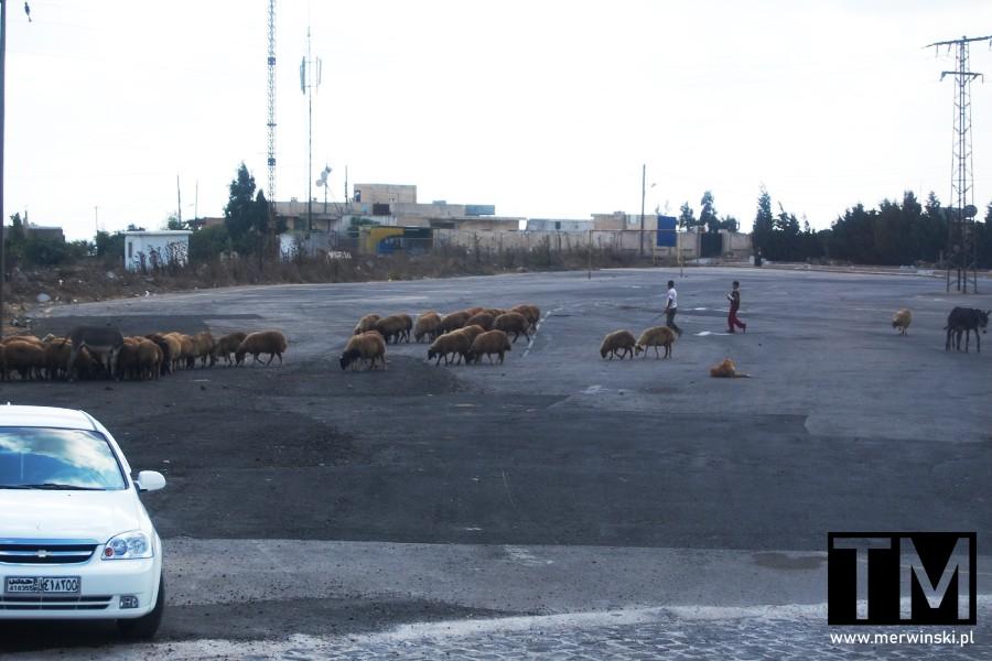 Owce przed zamkiem Krak des Chevaliers