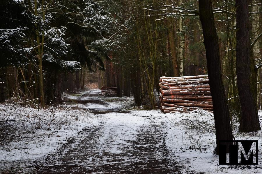 Droga i ścięte drzewa w Nadleśnictwie Miękinia