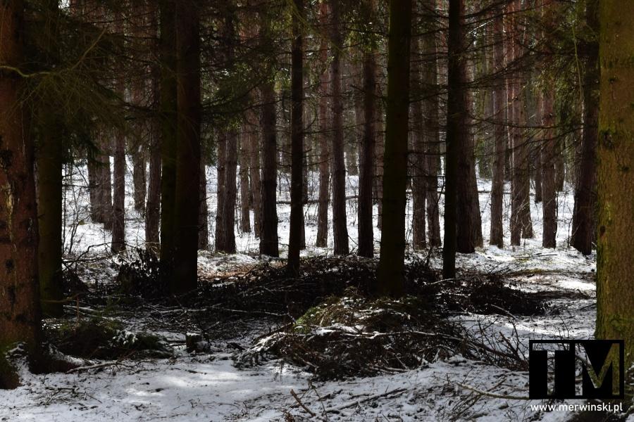 Drzewa iglaste w Nadleśnictwie Miękinia