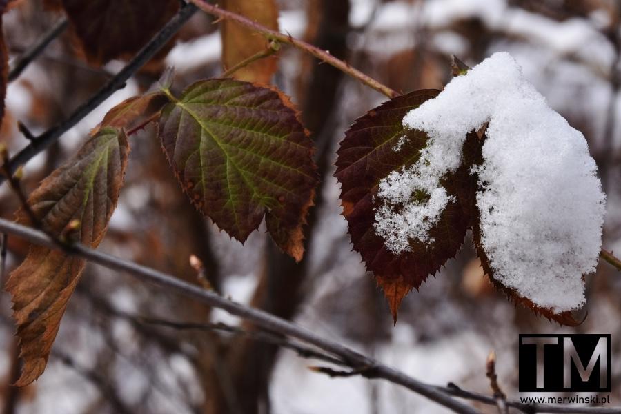 Liście pokryte śniegiem