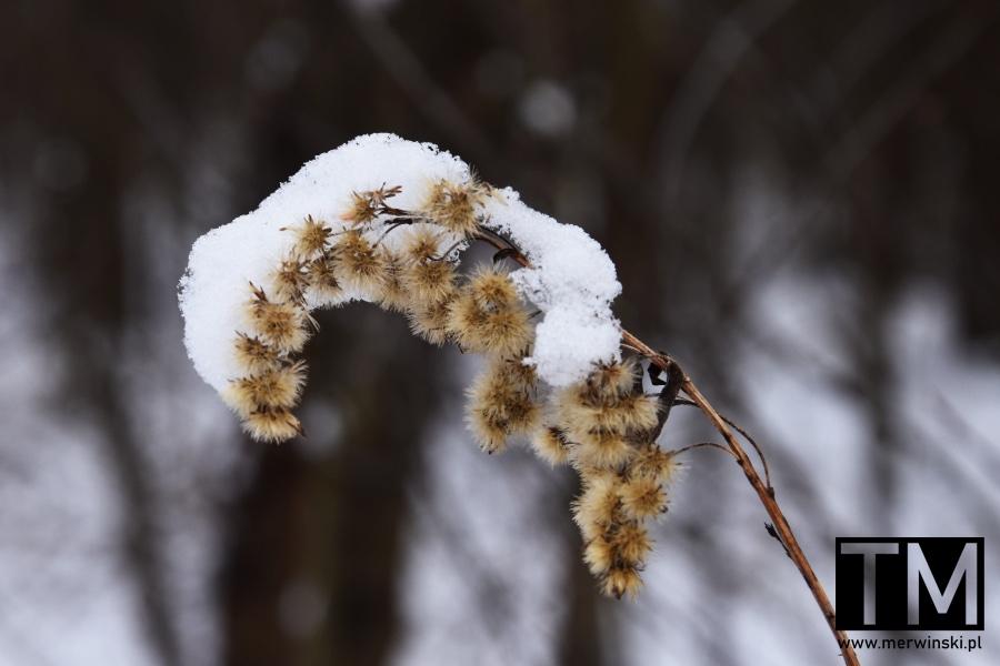 Roślina pokryta śniegiem
