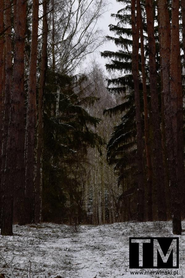 Szpaler drzew w lesie niedaleko Miękini