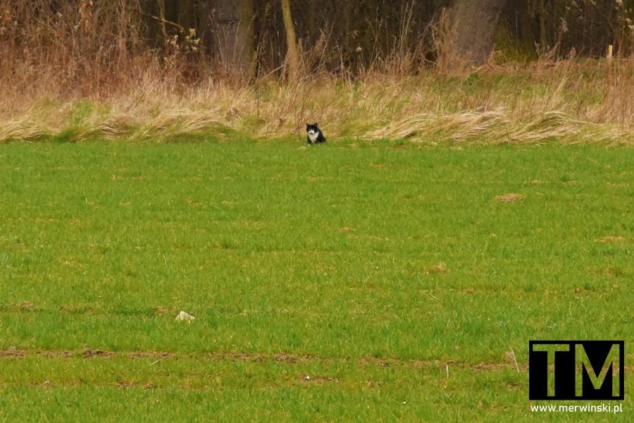 Kot siedzący w polu niedaleko Małkowic