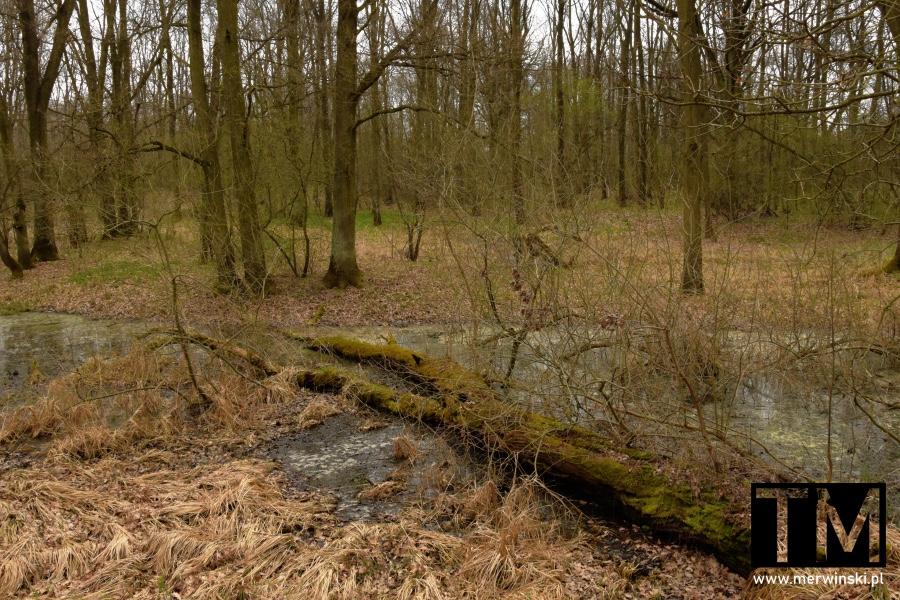 Drzewo zwalone do starorzecza w Dolinie Bystrzycy