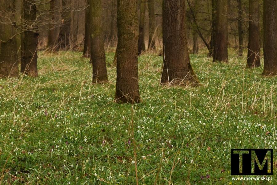 Przebiśniegi w lesie niedaleko Małkowic