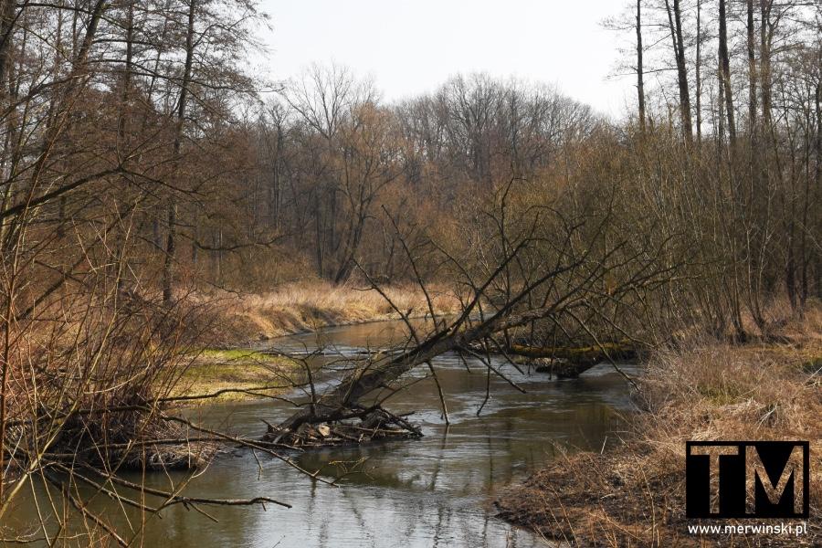 Zwalone drzewo na rzece Bystrzycy niedaleko Sadowic
