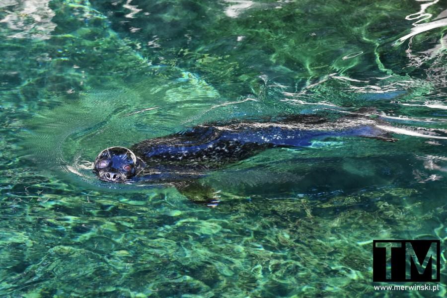 Foka pływająca we wrocławskim zoo