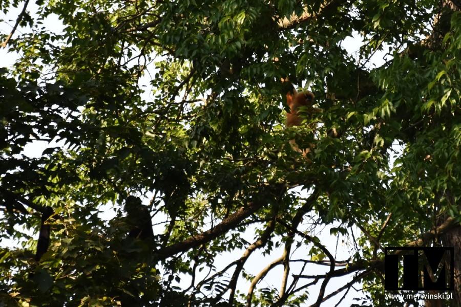Gibony na drzewach we Wrocławiu