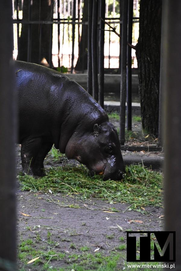Hipopotam we wrocławskim ogrodzie zoologicznym