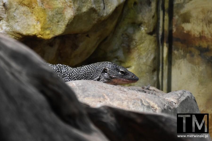 Jaszczurka w ogrodzie zoologicznym we Wrocławiu