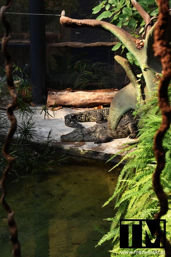Krokodyle we wrocławskim zoo