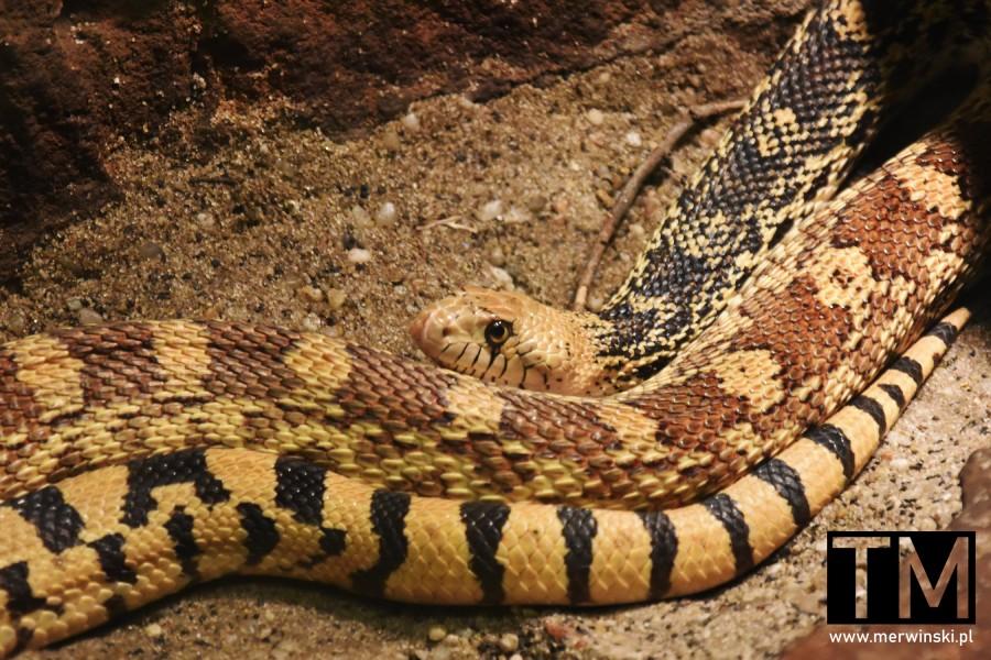 Wąż z piaskowymi wzorami we Wrocławiu