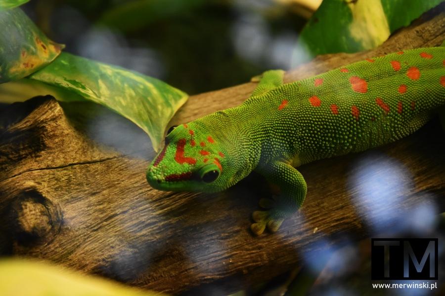 Zielona jaszczurka w czerwone plamy we wrocławskim zoo