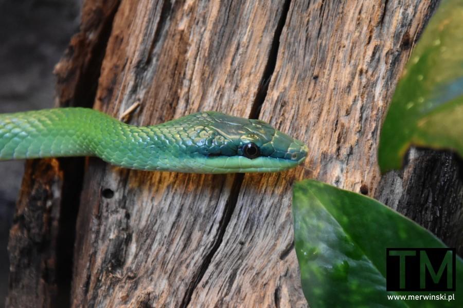 Zielony wąż w terrarium we wrocławskim ogrodzie zoologicznym