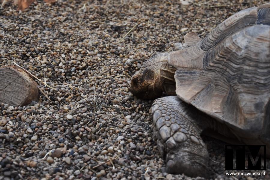 Żółw we wrocławskim Afrykarium