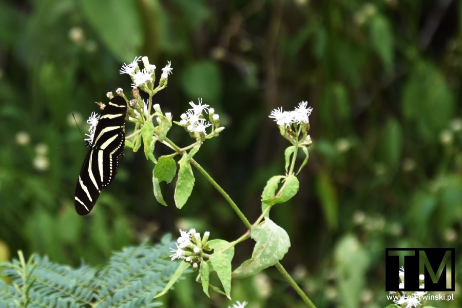 Motyl w Meksyku