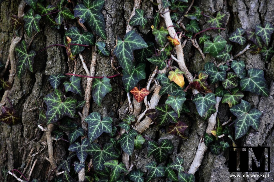 Bluszcz na drzewie w Dolinie Bystrzycy