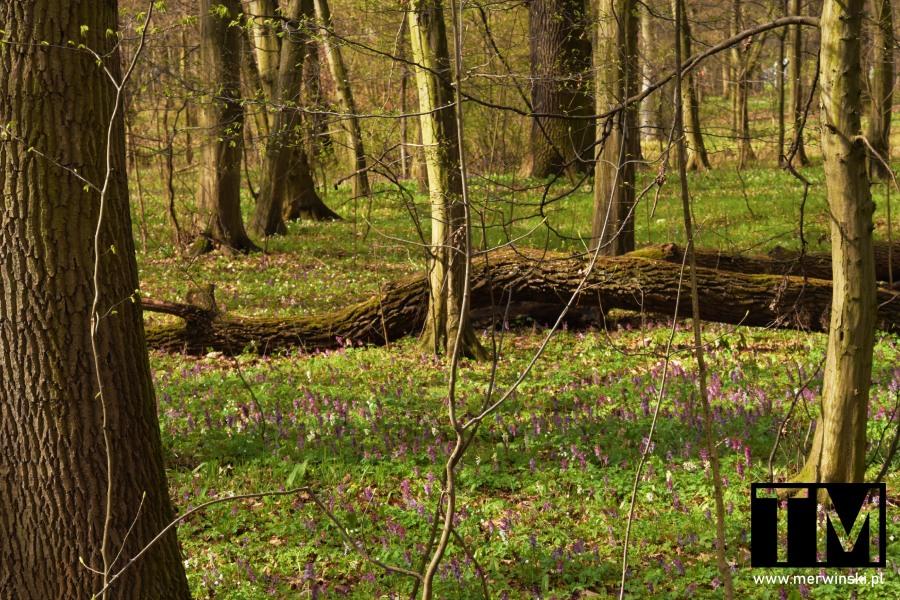 Powalone drzewo w parku w Kątach Wrocławskich