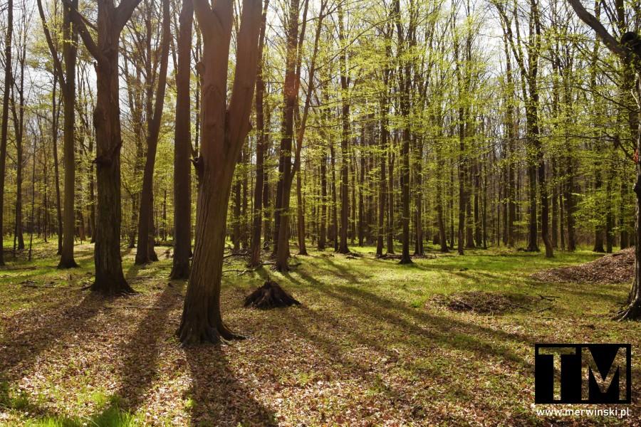 Słońce rzucające cień w lesie Grądy w Dolinie Odry