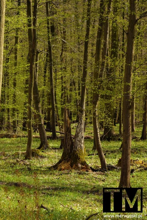 Drzewo przedzielone na pół niedaleko wsi Stary Górnik