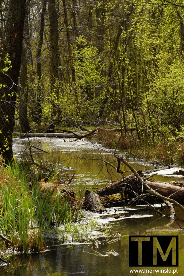 Rzeczka przepływająca przez las
