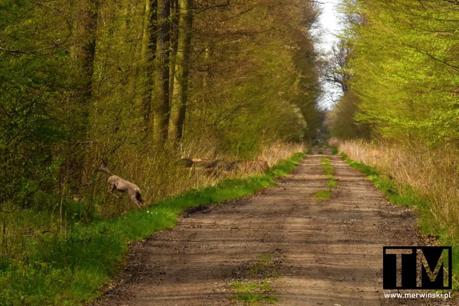 Sarna w lesie Grądy w Dolinie Odry