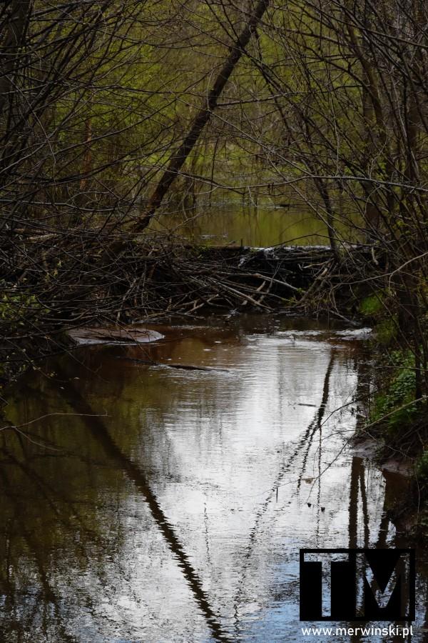Tama w lesie Natura 2000 Grądy w Dolinie Odry