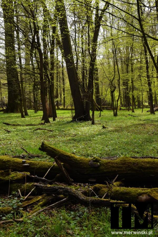 Powalone drzewo w lesie - Grądy w Dolinie Odry