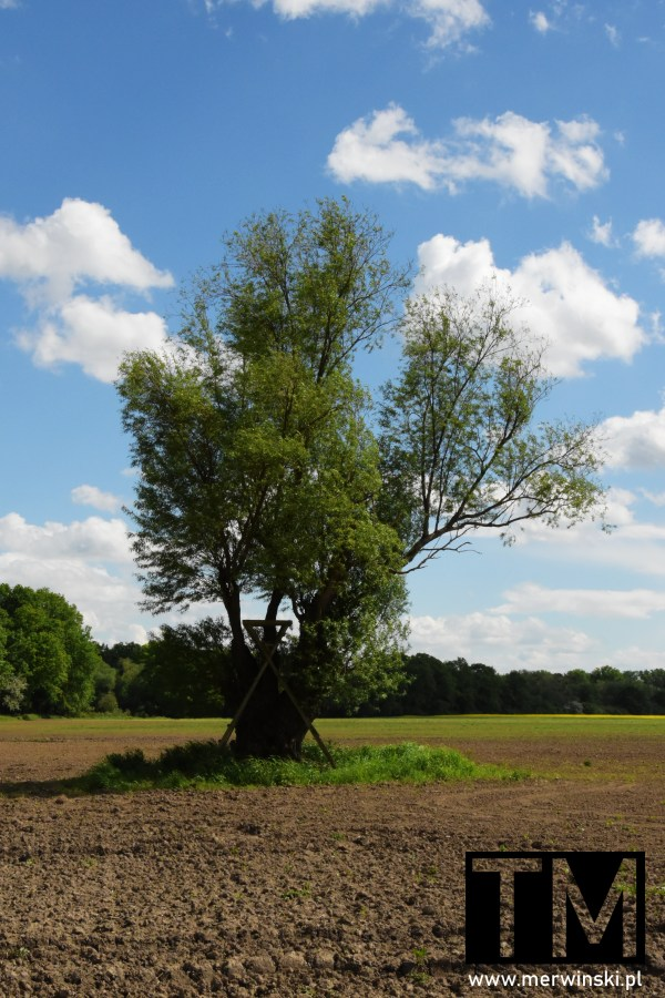 Drzewo na środku pola niedaleko Kotowic