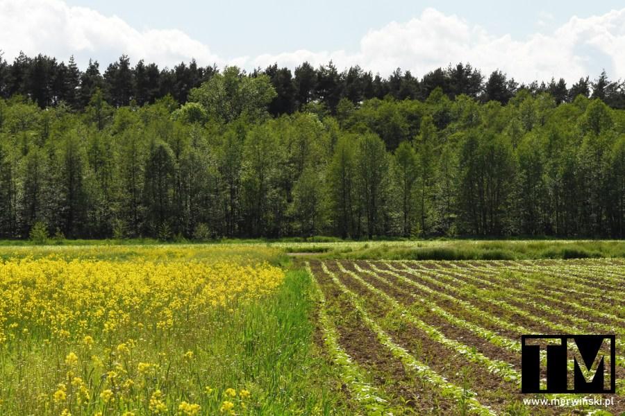 Dwa pola - z roślinami i dopiero obrastające, niedaleko Kotowic, obok Wrocławia