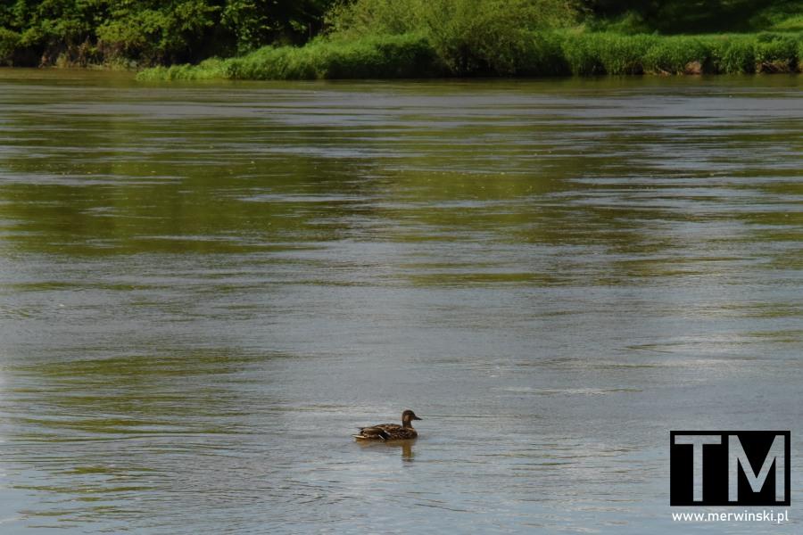 Kaczka płynąca po Odrze niedaleko Kotowic