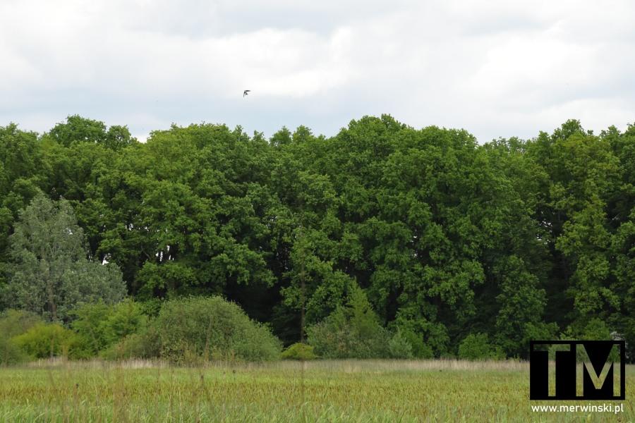 Ptactwo latające nad polaną w Kotowicach niedaleko Wrocławia