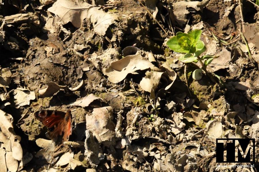 Motyl pośród starych liści na polu niedaleko Kotowic na Dolnym Śląsku