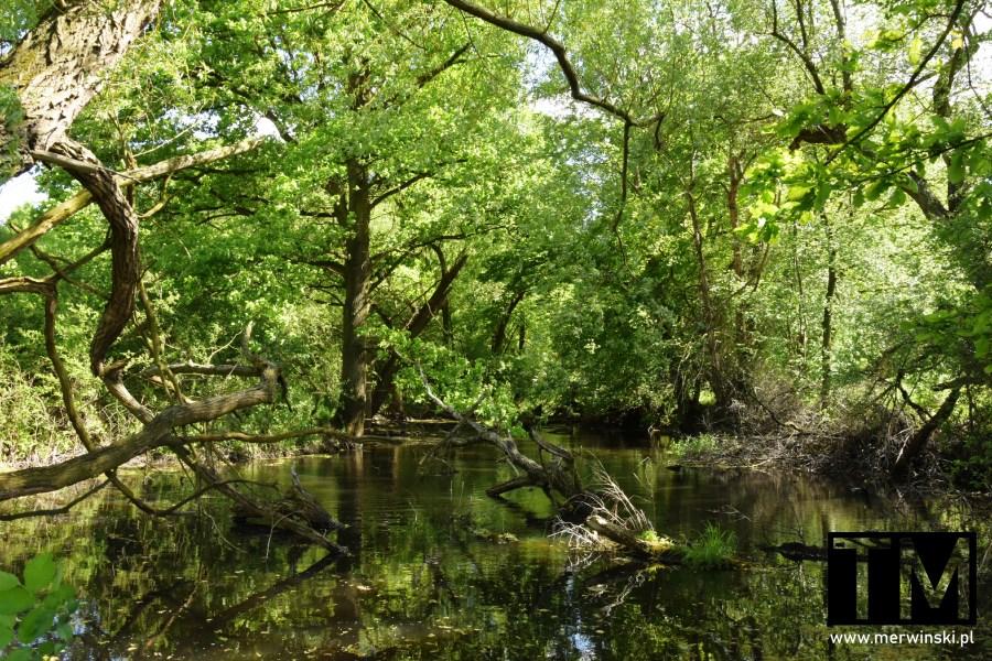 Zalane pnie i drzewa w okolicy Kotowic niedaleko Wrocławia