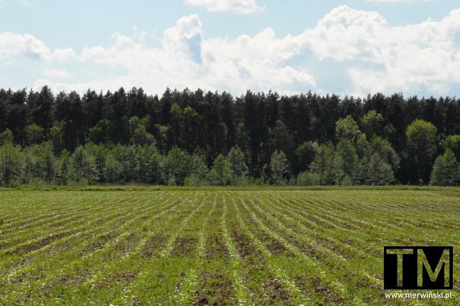Rzędy roślin wyrastających na polu w okolicy Kotowic