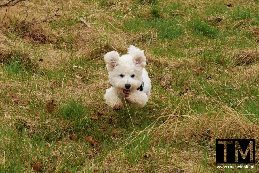Pies biegnący w Dolinie Bystrzycy
