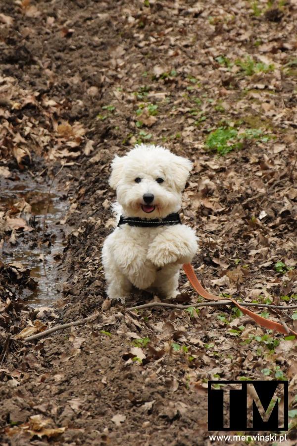 Pies na spacerze w lesie pod Wrocławiem