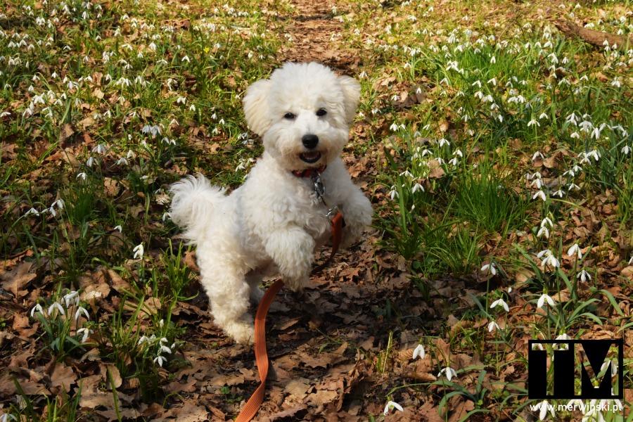 Pies spacerujący na podwrocławskiej łące